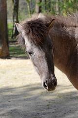 Waldtarpan im Tierpark Neumnster (Ulli J.) Tags: horse germany cheval deutschland zoo tyskland allemagne pferd hest duitsland schleswigholstein paard tarpan neumnster tierparkneumnster waldtarpan tarpanfarbigeshauspferd
