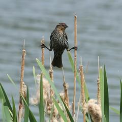 Stiltwalker (N.Clark (Internet Difficulty)) Tags: ornithology stilts avian stiltwalker wildbirds icterids specanimal redwingedblackbirdagelaiusphoeniceus manitobabirds naturethroughthelens
