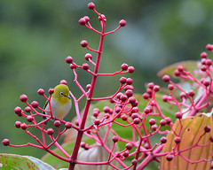 Mountain White-eye - Zosterops montanus at Mount Kitanglad (Bram Demeulemeester - Birdguiding Philippines) Tags: philippines mindanao mountainwhiteeye bramdemeulemeester mountkitanglad birdguidingphilippines philippinesbirdingtours