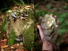 Olive Oyster (Markingitall) Tags: food canada mushroom vancouver bc pacific northwest pentax bokeh columbia cap fungus meal burnaby species coquitlam british 28 edible database identify picking poisonous forage hallucinogenic spores k7