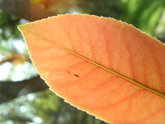 Autumnish (Jason A. Samfield) Tags: autumnish autumn fall autumnleaf autumnleaves fallleaf fallleaves color colors colorful orange tangerine tangerinedream red yellow hue hues dof depth depthoffield bokeh bokehlicious vein veins plant leaf leaves macro supermacro lensflare abstract nature natureabstract orangeleaf yellowleaf colorfulleaf leafveins plantleaf