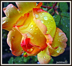 rose................Explore du 06/12/2011 (jackline22 .en vacances) Tags: pink flowers red orange flower water beautiful rose yellow petals drops photos explorer jardin pluie collection explore passion lovely waterdrops reine rosier rosire rosefleurnature