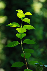 green plant with new leaves in sunlight (SergeyIT) Tags: park light summer sunlight plant color macro green nature leaves closeup outdoors leaf spring stem day branch background fresh organic concept lush botany sprout stalk freshness newlife selectivefocus newleaves youngleaves blurredbokeh