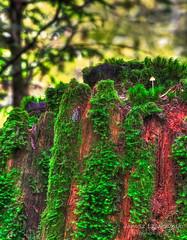 Mushroom doesn't need a parachute  another Darwin Award but I'm not the jumper (janusz l) Tags: red cliff west green mushroom rain forest coast moss small award darwin cedar imagination redwood stomp hdr parachute chilliwack janusz leszczynski bokah dec92011001108