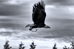 Bald Eagle (Andi Hardman) Tags: wallpaper bw white black canon eagle hawk profile flight bald hampshire andover 7d trust andi conservancy in hardman monochrone