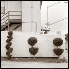 Topiary, Richmond (efo) Tags: california bw home topiary richmond rodinal shrubbery fomapan minoltaautocord artlibre artlibres bwfp efo:site=3