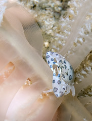 painted porcelain crab (A Kaye Photography) Tags: ocean sea macro beautiful canon thailand island gulf painted small crab scuba diving oceans porcelain kohtao delightful g10 canong10