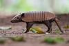 Six-banded Armadillo (Euphractus sexcinctus) (PeterQQ2009) Tags: brazil mammals pantanal sixbandedarmadillo euphractussexcinctus