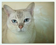 Happy Christmas, Chiffy (Explored) (hehaden) Tags: rescue texture cat kitty burmilla bestofcats rubystreasures