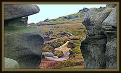The Eagle Has landed (Dazzygidds) Tags: wild texture rocks eagle path heather derbyshire shapes boulders trail darkpeak peakdistrictnationalpark moorland gritstone kinderscout naturalsculptures naturalweathering roughness windsculptedrocks gritstonesculptures gritstoneshapes gritstoneeagle animalsinrocks darkpeaknationaltrust