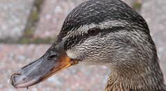 Female mallard gives me the eye (Travels with Kathleen) Tags: birds scotland ducks lochlomond mallards