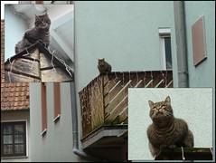 The cat on the balcony (Joa Chim) Tags: pet cats pets cat franconia katze balon unterfranken eisenheim