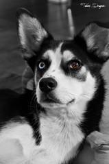 Hayate (Fab 1983) Tags: chien collie husky pentax border noirblanc fabien k7 vairon drugeon justpentax