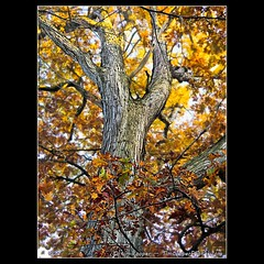 Autumn oaks (tim, TimCooperPhotos.com) Tags: trees landscape us flickr indiana fallfoliage northamerica evansville timcooper hoveylake