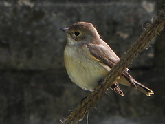 an old friend returns (klikslik) Tags: flycatcher brownflycatcher wintermigration redthroatedflycatcher redthroatedflycatcherfemale unidentifiedflycatcher