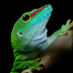 Madagascar Day Gecko (Supervliegzus) Tags: portrait macro green nikon ngc madagascardaygecko flickraward