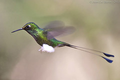 Booted Racket-tail (Ocreatus underwoodii) (Jeluba) Tags: bird nature canon inflight ecuador bokeh wildlife aves ornithology birdwatching oiseau colibri neotropical bootedrackettail ocreatusunderwoodii avianexcellence grnscheitelflaggensylphe hautdechaussespalettes