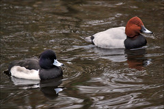 Tufted Duck and Common Pochard (Foto Martien (thanks for over 2.000.000 views)) Tags: holland bird netherlands dutch duck nationalpark nederland waterbird groningen waterfowl friesland eend aythyafuligula vogel niederlande lauwersmeer tuftedduck aythyaferina frysln commonpochard kuifeend divingduck nationaalpark troldand tafelente vigg tafeleend watervogel reiherente gowienka toppand porrneuropeo fuligulemilouin a550 porrnmoudo fuligulemorillon porrncomn taffeland brunand duikeend lauwersmar kaczkaczernica martienuiterweerd martienarnhem sony70300gssmlens sonyalpha550 mygearandme mygearandmepremium mygearandmebronze mygearandmesilver mygearandmegold fotomartien kaczkardzawogowa grinsln morillondeurope milouindeurope