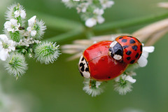I love you (Edi Eco) Tags: life macro verde love brasil canon bug insect bugs 100mm vermelho inseto 7d ladybug rs making riograndedosul joaninha pontos copulating barao brazi canonef100mmf28usmmacro erechim cotegipe