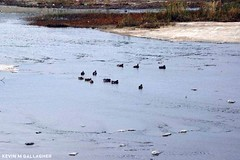 Flock of American Coot Swimming (Kevin MG) Tags: lariver lar coot river water losangeles bird birds avian