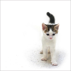 Starting out... (hehaden) Tags: rescue white cat square kitten tabby kitty shorthaired bestofcats