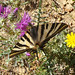 Scarce Swallowtail. Iphiclides podalirius feisthamelii. First brood female