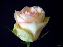 Winter Rose_2 (Gina M.K.) Tags: rose january onblack wonderfulphotos perfectpetals awesomeblossoms andromeda50 mamasbloomers january2012 nikoncoolpixs8000 photospourtousphotosforall rosesforeveryone rosesforeverybody pureclassgoldbandaward