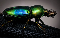 "Australian iridescent green and blue Stag Beetle • <a style=""font-size:0.8em;"" href=""http://www.flickr.com/photos/44919156@N00/6689282285/"" target=""_blank"">View on Flickr</a>"