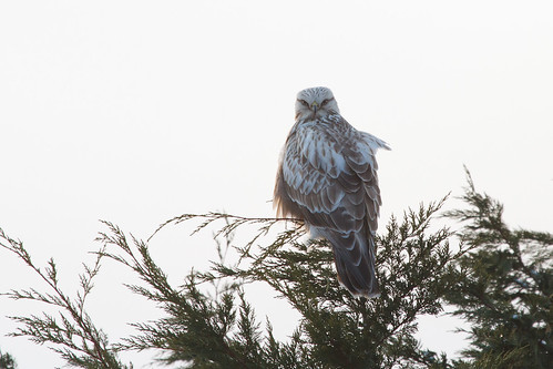 Rough Legged Buzzard - Immature bird in the outskirts of Hakodate. There has been a big influx of this species into south Hokkaido this winter.