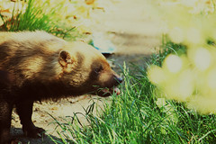 Adorableness (Deydre Alonso Rosillo) Tags: brown verde green animal yellow tongue hair way eyes camino ears amarillo ojos lengua snout pelo hocico marrn orejas