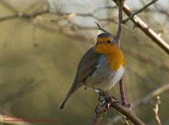 Portrait of a Robin. (The Tree That Fell in the Woods) Tags: winter nature coventry sonyalpha100 brandonmarsh