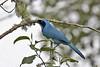 Turquoise Jay (Cyanolyca turcosa) (Jeluba) Tags: bird nature canon ecuador wildlife aves ornithology birdwatching oiseau neotropical turquoisejay cyanolycaturcosa geaiturquoise türkishäher