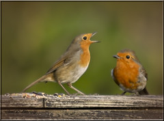 TWO OF A KIND (Shaun's Wildlife Images....) Tags: robins shaund