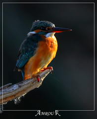 Waiting (Amrou A) Tags: al fishing central kingfisher saudi arabia prize common riyadh vally 14tc greatphotographers nikkor300mm hayer colorphotoaward kharj nikond7000 blinkagain dblringexcellence tplringexcellence amroua eltringexcellence