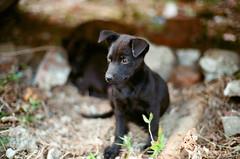 . (Da✞a) Tags: dog black animal bokeh explore leicam7 狗 kodakportra160nc explored konicamhexanon50mmf12limited