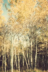 golden autumn (The Tell-Tale Blogger) Tags: blue autumn trees sky fall leaves contrast forest golden warm bokeh romantic homedecor breathtaking goldenhour talltrees tiltshift neutrals rustle deepshadows popplars