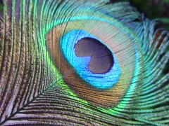 the eye feather of a peacock (~shiya~) Tags: newzealand bird feather peacock auckland birdfeather peacockfeather ~shiya~ musictomyeyeslevel1