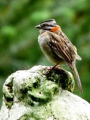 Zonotrichia capensis (Arimm) Tags: bird freeassociation statue brasil sparrow capensis zonotrichia rufouscollared fz40 arimm fz45