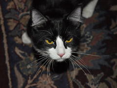 Cattitude (BKHagar *Kim*) Tags: cats cat al feline alabama kitty athens whiskers meow nigel bkhagar