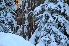 can you see the moose? (manywinters) Tags: morning winter snow cold alaska snowy branches moose hidden boughs spruce 49f