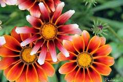 Color Flower (jr.pedro) Tags: autumn winter summer flores cold flower color colour macro beautiful cores eos photo spring colorful pretty colours exploring flor adventure explore micro 400d 1100d