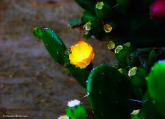 Inner light / Luz interior (Claudio.Ar) Tags: cactus naturaleza flower color nature topf25 argentina zoo buenosaires sony dsc h9 temaiken claudioar claudiomufarrege
