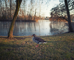 Just A Goose (Philipp Klinger Photography) Tags: park winter light sunset sun cold reflection bird ice nature water grass animal canon reflections frozen geese am pond warm frost dof cross angle bokeh frankfurt main wide feathers feather frosty goose crossprocessing processing 5d philipp frankfurtammain stadtpark xprocessing hchst ffm klinger canon24mmf1