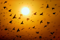 Starlings (Alan MacKenzie) Tags: sunset england sky sun nature birds silhouette sussex wings brighton wildlife flock flight starling migration starlings murmuration moot starlingflock starlingmurmuration starlingmoot
