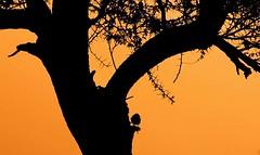 IMG_7954 (سيلوليت) Tags: شمس من في غروب الطبيعة أروع فن مناظر جبل جبال الشمس الاصيل أجمل البوم روائع اعدادات حايل بحائل حائل طلح سيلوليت السيلوليت صورمن أجأالبرفي الشعبان