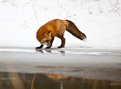 Red Fox (Irena Portfolio) Tags: