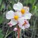 Flora dopo Ocros (prov. Ayacucho) (6)