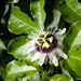 Passionfruit flower. Sao Tomé