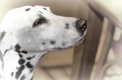 40-366 (Lea and Luna) Tags: blackandwhite bw dog monochrome nikon dal luna spots spotted 60mm nikkor birthdaygirl 2012 topaz 366 achromatic project366 40366 dalmaitan d5100 topazblackandwhiteeffects 366in2012 leapingintolife