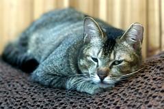 DSC03139 (RamaWangFlickr) Tags: cat gato neko katze gatto   lechat